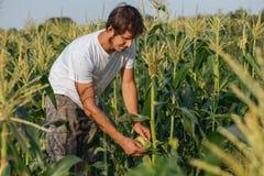 Agricoltore che ispeziona il raccolto del cereale al campo dell'azienda agricola organica di eco Fotografie Stock
