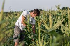 Agricoltore che ispeziona il raccolto del cereale al campo dell'azienda agricola organica di eco Immagini Stock Libere da Diritti