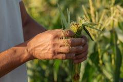 Agricoltore che ispeziona il raccolto del cereale al campo dell'azienda agricola organica di eco Immagine Stock Libera da Diritti