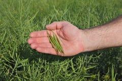 Agricoltore che ispeziona il raccolto del seme di ravizzone nel campo Fotografia Stock