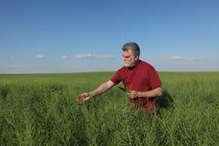 Agricoltore che ispeziona il raccolto del seme di ravizzone nel campo Fotografie Stock