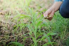 Agricoltore che ispeziona a mano cereale nel giardino di agricoltura Fotografia Stock Libera da Diritti