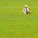 Agricoltore che lavora ad una risaia nel Vietnam, Nha Trang Fotografie Stock Libere da Diritti