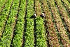 Agricoltore che lavora al campo della carota Fotografie Stock Libere da Diritti