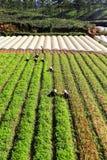 Agricoltore che lavora al campo della carota Fotografia Stock Libera da Diritti