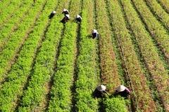 Agricoltore che lavora al campo della carota Fotografia Stock