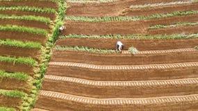 Agricoltore che lavora al giacimento a terrazze della cipolla rossa Immagine Stock Libera da Diritti