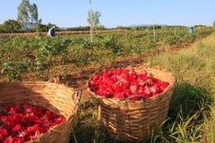 Agricoltore che lavora al giardino floreale del fiore delle rose Fotografie Stock Libere da Diritti
