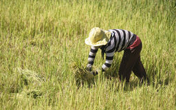 Agricoltore che lavora al riso della risaia Immagine Stock