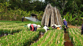 Agricoltore che lavora al terreno coltivabile. LAM DONG, VIETNAM 22 DICEMBRE Immagine Stock