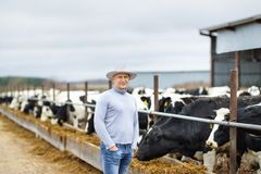 Agricoltore che lavora all'azienda agricola con le mucche da latte Immagine Stock