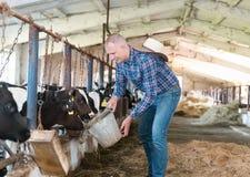 Agricoltore che lavora all'azienda agricola con le mucche da latte Immagini Stock