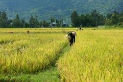 Agricoltore che lavora alla risaia di raccolto Immagine Stock