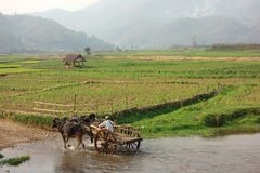 Agricoltore che lavora nel campo con il bufalo d'acqua Fotografie Stock Libere da Diritti