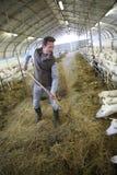 Agricoltore che lavora nel granaio che raccoglie fieno Fotografia Stock