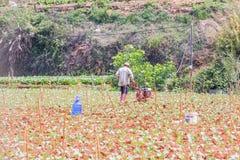 Agricoltore che lavora nell'azienda agricola di verdure Immagini Stock Libere da Diritti