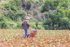 Agricoltore che lavora nell'azienda agricola di verdure Immagini Stock