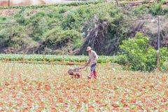 Agricoltore che lavora nell'azienda agricola di verdure Fotografia Stock Libera da Diritti