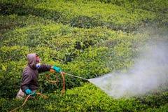 Agricoltore che lavora nella piantagione di tè Fotografia Stock