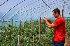 Agricoltore che lavora nella sua serra Fotografie Stock Libere da Diritti