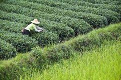 Agricoltore che lavora in un campo del tè, il Guangxi Fotografia Stock Libera da Diritti