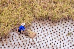 Agricoltore che lavora in un giacimento del risone durante il raccolto Fotografie Stock Libere da Diritti