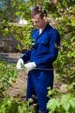 Agricoltore che lega i rami dell'uva Immagini Stock Libere da Diritti