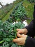 Agricoltore che lega i verdi assortiti Fotografia Stock