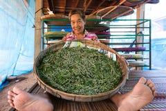 Agricoltore che mostra baco da seta Immagine Stock