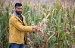 Agricoltore che mostra la pannocchia di granturco con la malattia Fotografia Stock