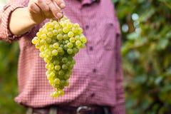 Agricoltore che mostra mazzo dell'uva bianca Fotografie Stock