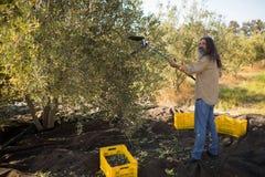 Agricoltore che per mezzo dello strumento verde oliva di raccolto mentre raccogliendo Fotografia Stock Libera da Diritti