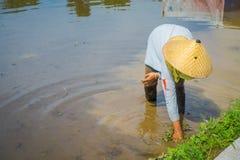 Agricoltore che pianta alcuni semi del riso in una terra sommersa in terrazzi, Ubud, Bali, Indonesia Fotografie Stock