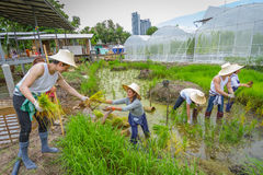Agricoltore che pianta l'alberello del riso sul campo di risaia in azienda agricola organica Fotografie Stock