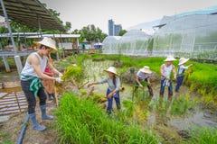 Agricoltore che pianta l'alberello del riso sul campo di risaia in azienda agricola organica Immagine Stock Libera da Diritti