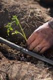Agricoltore che pianta la piantina del pomodoro Fotografia Stock