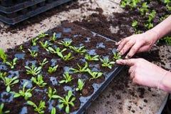 Agricoltore che pianta le giovani piantine Fotografia Stock