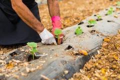 Agricoltore che pianta le giovani piantine del cetriolo nell'orto Immagine Stock