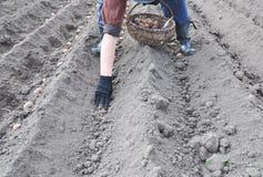 Agricoltore che pianta le patate nella primavera Uomo che coltivare il giacimento della patata Fotografie Stock Libere da Diritti