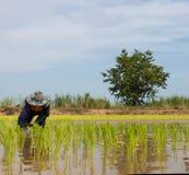 Agricoltore che pianta le piantine del riso Immagine Stock