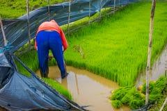 Agricoltore che pianta le piccole piante verdi di riso in una terra sommersa in terrazzi, Ubud, Bali, Indonesia Fotografia Stock