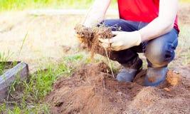 Agricoltore che pianta raccogliendo le verdure organiche nell'azienda agricola urbana Immagine Stock Libera da Diritti