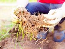 Agricoltore che pianta raccogliendo le verdure organiche nell'azienda agricola urbana Fotografia Stock Libera da Diritti