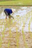 Agricoltore che pianta riso Immagini Stock