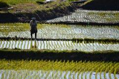 Agricoltore che pianta riso nel lago Inle immagini stock