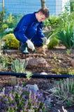 Agricoltore che pianta un'iride Immagine Stock