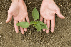 Agricoltore che pianta una pianta del girasole nel giardino Immagine Stock Libera da Diritti