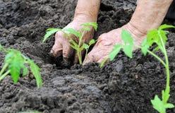 Agricoltore che pianta una piantina del pomodoro Immagine Stock