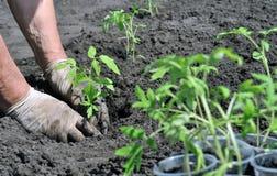 Agricoltore che pianta una piantina del pomodoro Fotografie Stock