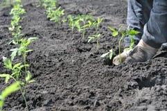 Agricoltore che pianta una piantina del pomodoro Fotografia Stock Libera da Diritti